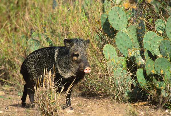 http://cdn.net.outdoorhub.com/wp-content/uploads/2012/04/javelina-hunt.jpg