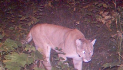Cougar spotted in Houghton County, MI