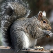Eastern Gray Squirrel. Photo: Robert Taylor