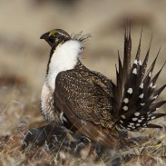 "Sage grouse conservation measures in Wyoming provide ""umbrella"" benefits for other sagebrush-dependent species, scientists say."
