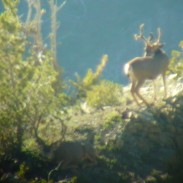 Quick shot of a buck