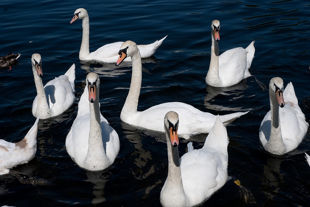 Mute Swans are so called because they are less vocal than other swans
