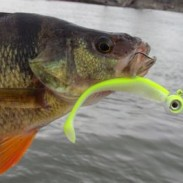 A hungry pre-spawn perch