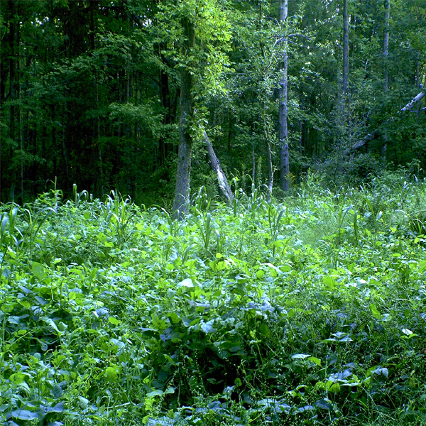 Whitetail Food Plots Part 3