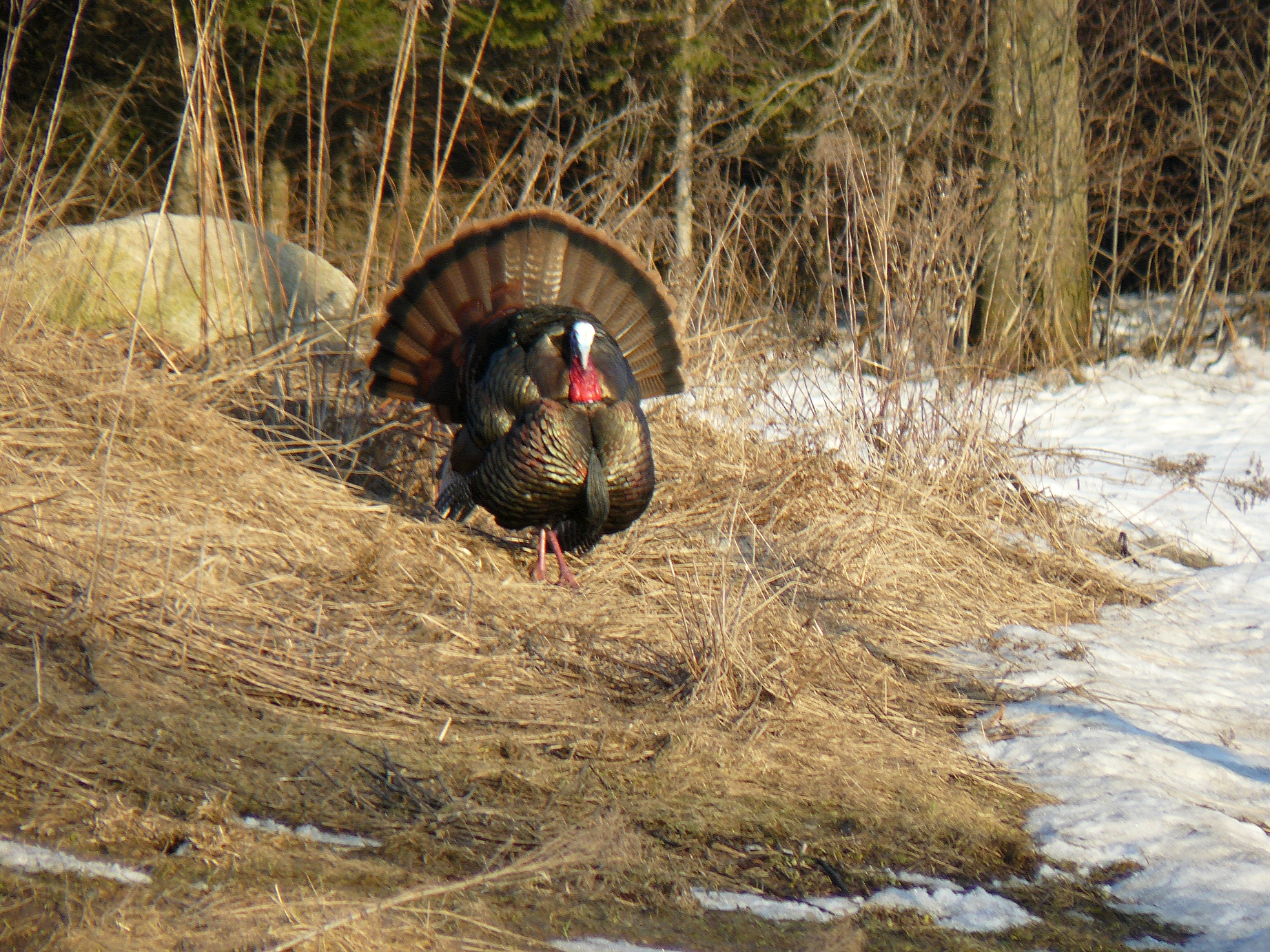 Vermont s spring turkey hunting starts soon outdoorhub for Fishing license vt