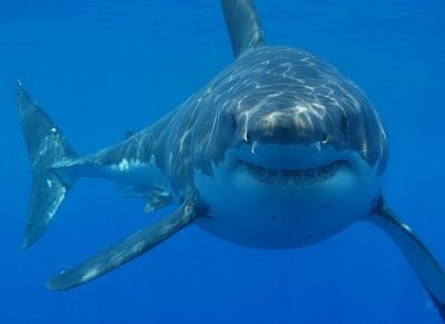 Great White Shark spotted while cage diving in South Africa