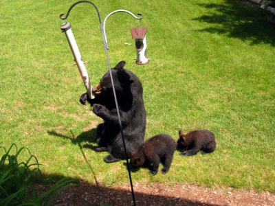 DNR bears at birdfeeder