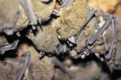 Gray Bats