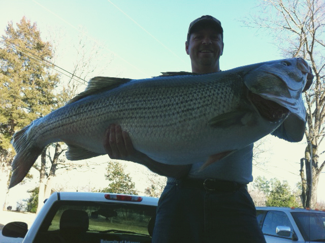 Scale shattering arkansas striped bass not a state record for Angler fish ark