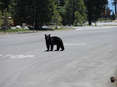 Black bear within city limits