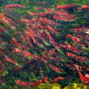 School of sockeye salmon