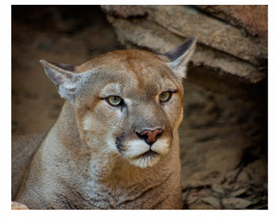 Cougar/mountain lion/puma