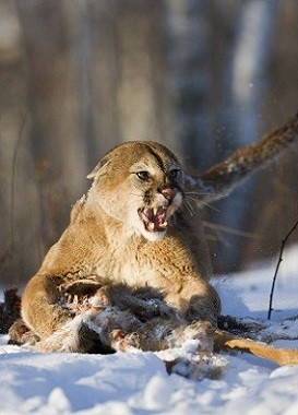 Ferocious mountain lion guarding its kill.