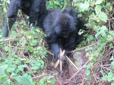Young gorilla breaks snare