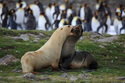 Fur seals fight in front of a crowd of penguins. The blond fur seal has a condition called leucism that results in reduced pigmentation.
