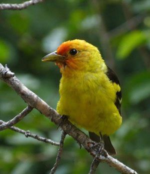 A very cooperative male Western Tanager was a big hit among youth attending Camp Colorado.
