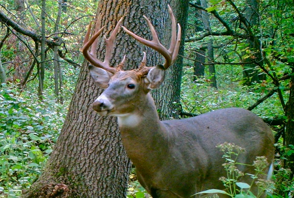 Buck on trail cam