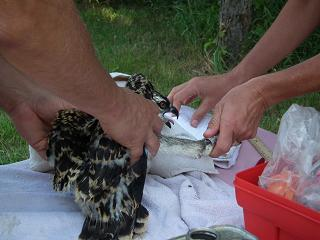 Julie Oakes of the Michigan DNR and Tom Schneider of the Detroit Zoological Society band an osprey chick as part of the continued effort to monitor osprey in southern Michigan.