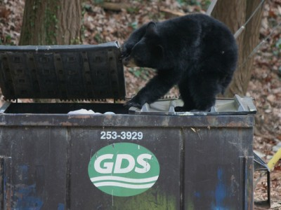Bear breaking into a trash can