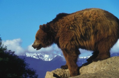 Grizzly Bear overlooking rock