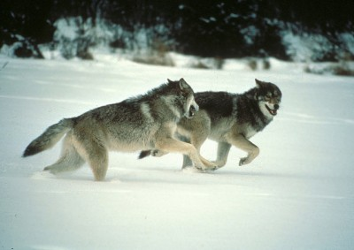A pair of gray wolves run in Wisconsin