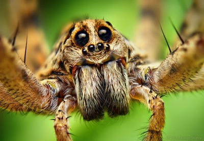 Wolf spider macro shot by Thomas Shahan