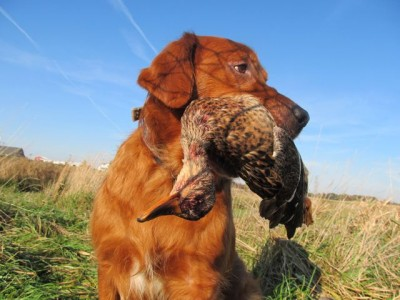 The author's golden retriever Gabe retrieves a suzy mallard