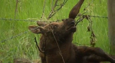 Moose calf caught in barbed wire