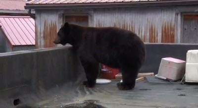 Bear on a roof in downtown Juneau