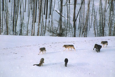 Gray wolf pack