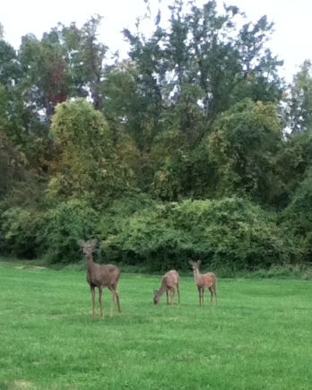 urban-deer-doe-fawns