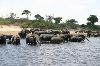 Elephants in Botswana, Chobe National Park.