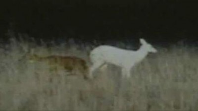 A file image of an albino deer. Young Gavin's harvest was a 12-point buck.