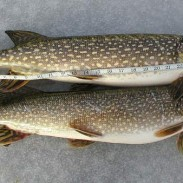 A pair of pike well over Michigan's 24-inch minimum.