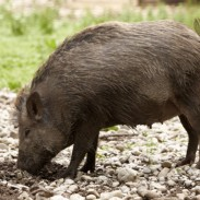 Louisiana hunter Gary Kinsland knew pigs were in the area he was hunting and had heard them squealing that morning. When he saw a dark form in the brush, he believed it was a feral hog.
