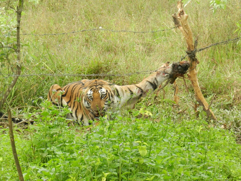 injured tiger saved by n village  injured tiger saved by n village