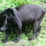 800px-Black_Jaguar_(Panthera_onca)