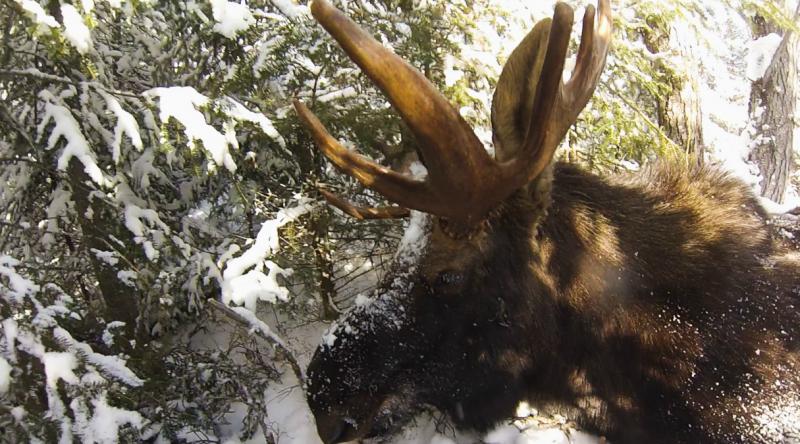 DNR survey moose
