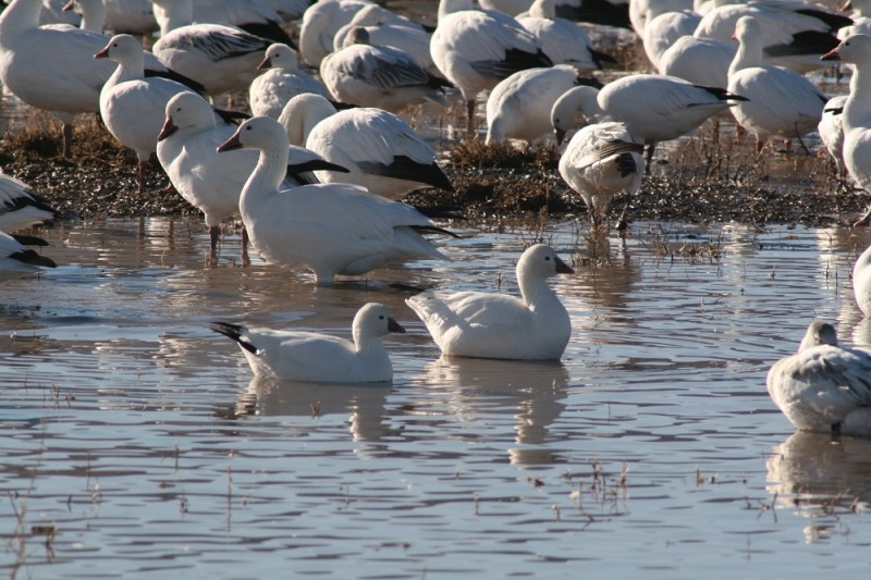 As spring approaches, the minds of many waterfowlers turn to hunting snow geese.