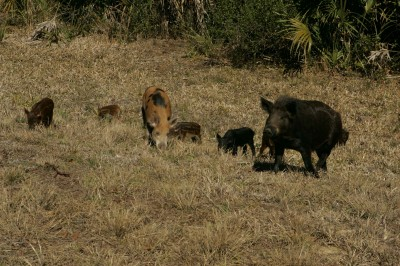 Wild_pigs_family_male_and_female_with_young