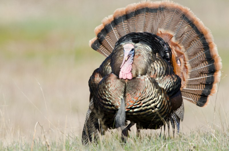 Turkey hunting can sometimes seem like an endless and futile pursuit. But each spring, millions of us hit the fields and woods in search of the elusive gobblers. Below are some tips to make your season a little more successful this year.