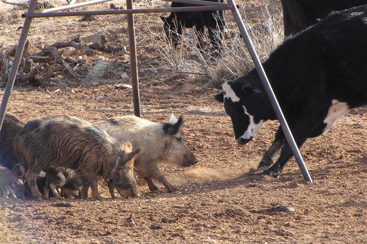 U S Feral Pig Problem Increasing Texas Hog Population To