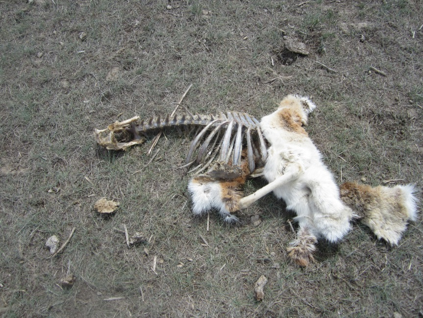 Montana Fwp Looking For Information On Antelope Slaughter