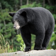 You can apply for a Michigan bear hunting license May 1 through June 1. Send in your application and get preparing now!