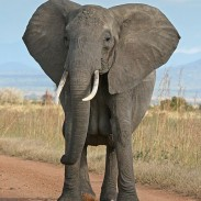 Ivory is a precious commodity in many parts of the world, elephants are often poached for it.
