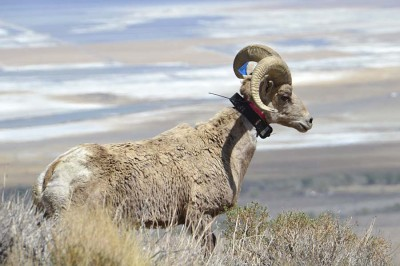 The headgear on bighorn sheep can weigh upwards of 30 pounds.