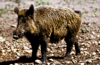 There are over five million feral pigs in America and no state has more than Texas.