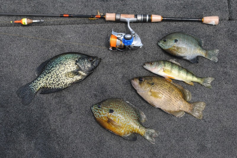 Michigan's Lake St. Clair is more than just the best bass lake in America--it offers up plenty of panfish, too. From left: Black crappie, pumpkinseed, rock bass, yellow perch, bluegill.