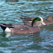 The USFWS estimates there to be 45.6 million breeding ducks in the surveyed area.