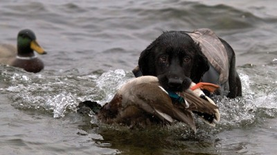 Take the time to condition your hunting dog in the summertime.